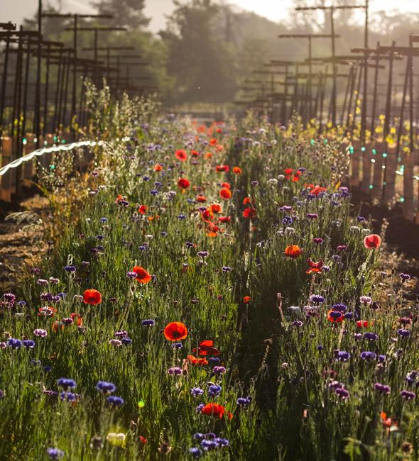 Flowers in the vineyard - DFV