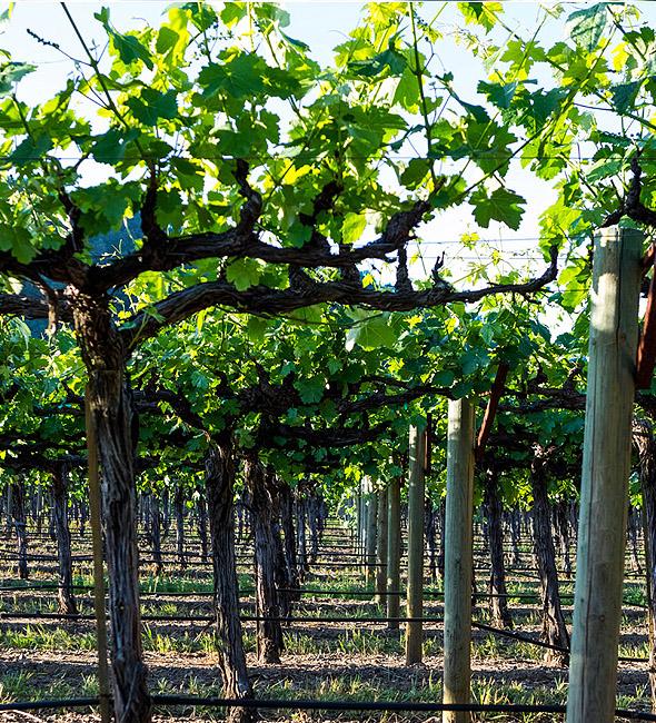 Vines DFV