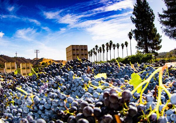 Grape Harvest - Dorcich Family Vineyards